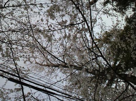 空桜0416