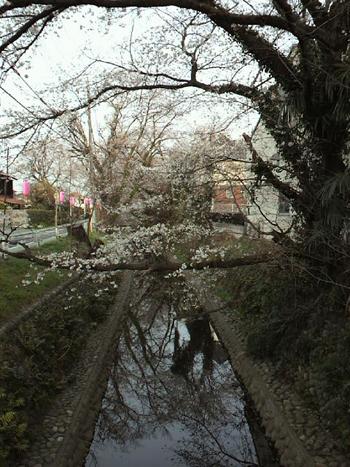 川桜0421