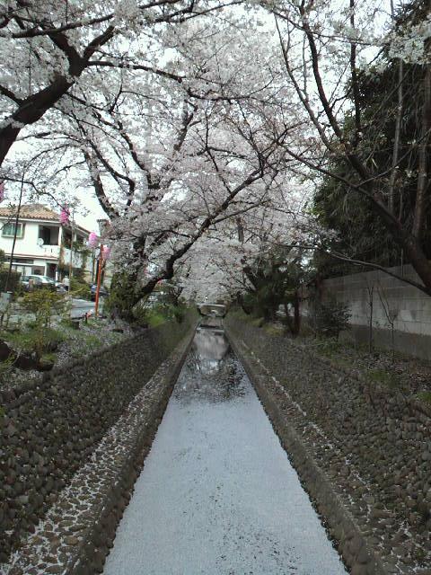 sakura絨毯0457