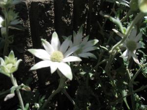 花壇 フランネル