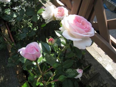花壇 ばら 3