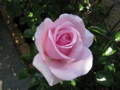 花壇 ばら 4
