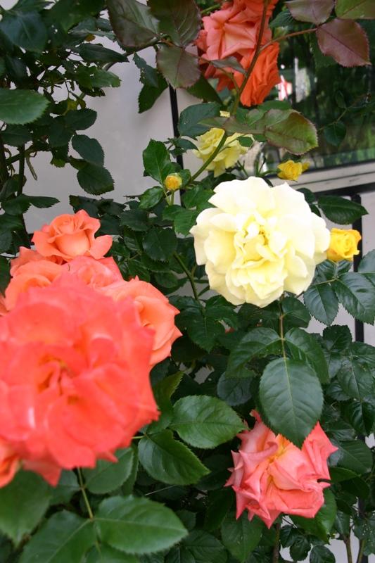アトリエの薔薇2