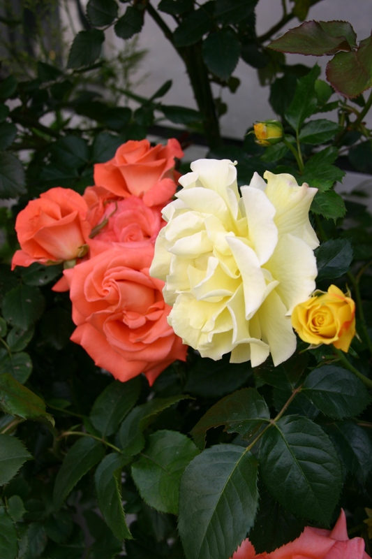 アトリエの薔薇3