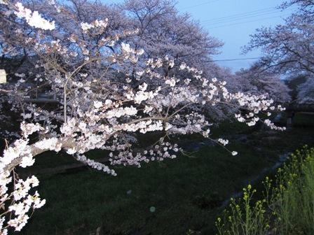 ujitawara sakura