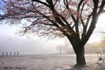 桜霞の中のプレイ・ボール