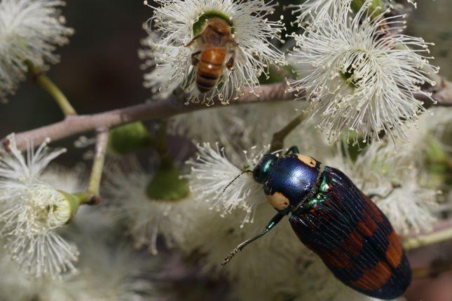 1:10タマムシ蜜蜂2