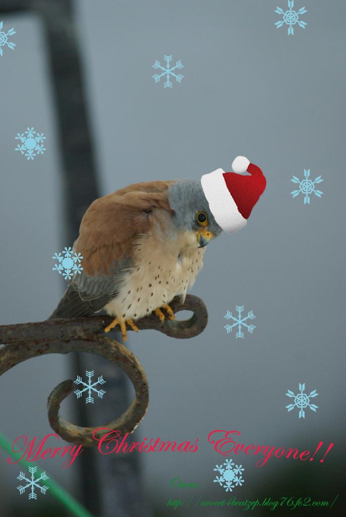 ヒメチョウゲンボウ Christmas version for blog