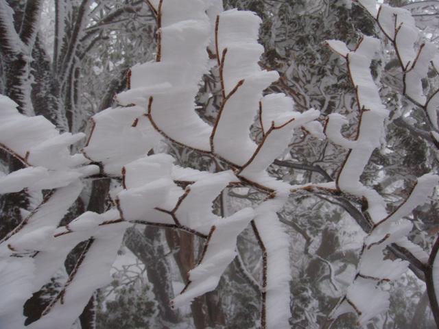 ツツジの枝