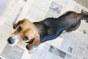 dog_beagle_1.jpg
