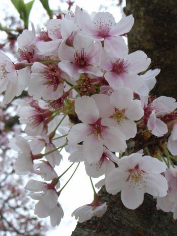 10.04.18桜