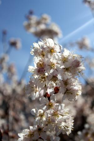 11.03.18花_中国実桜
