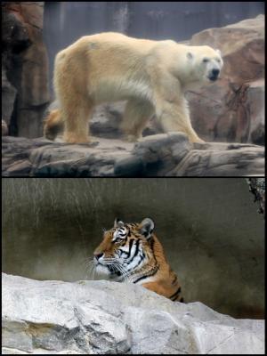 11.05.03王子動物園_シロクマ&アムールトラ