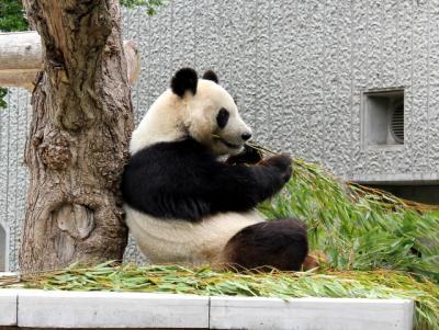 11.05.03王子動物園_パンダ