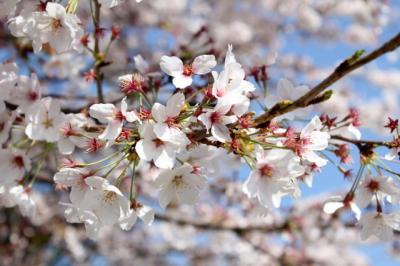 12.04.14桜_接写(桜背景)