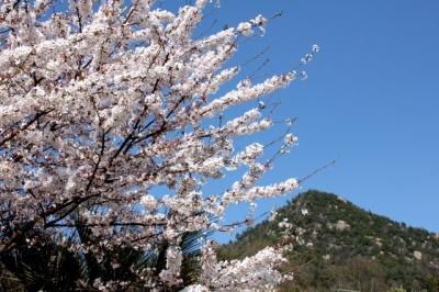 12.04.14桜_山と