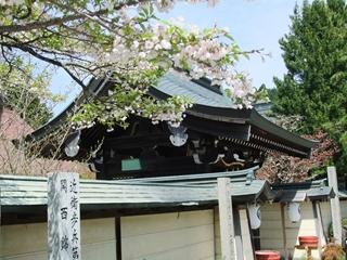 高野山の桜①