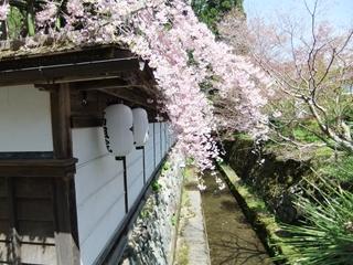 高野山の桜②