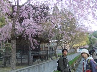 高野山の桜③