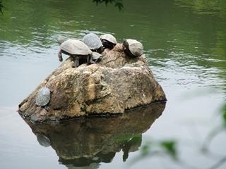龍安寺の池の亀