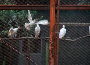 朱鷺保護センターの朱鷺