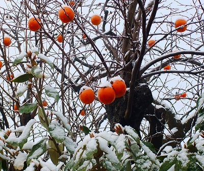 雪に覆われた柿