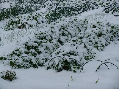 雪に覆われた農作物