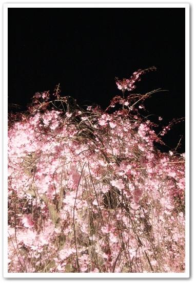 暗闇に浮かぶ枝垂れ桜