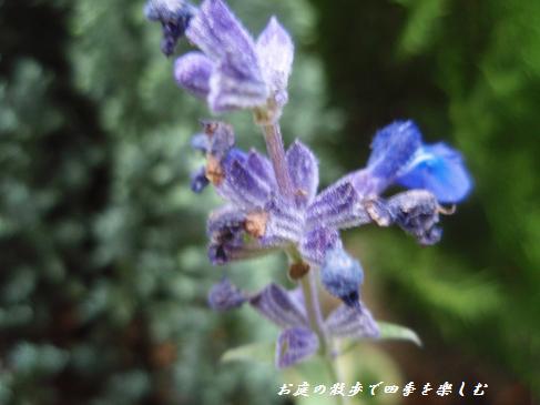 buru-sarubia9.jpg
