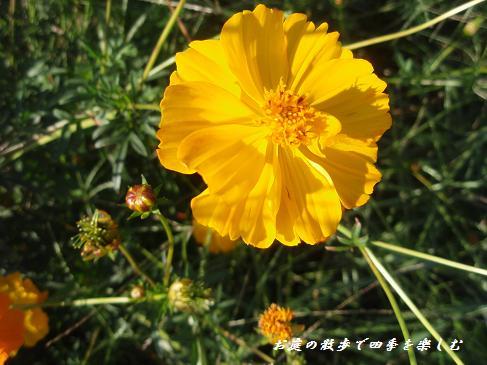 kosumosu5.jpg