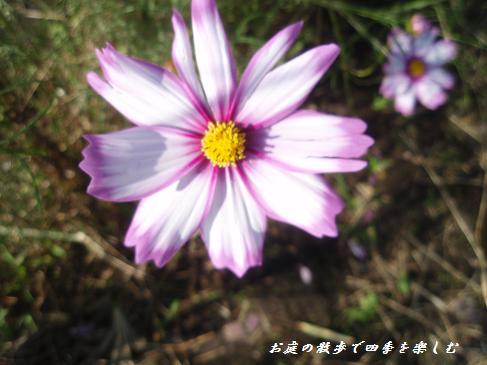 kosumosu6.jpg