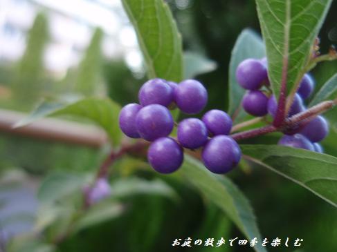 murasakisikibu4.jpg