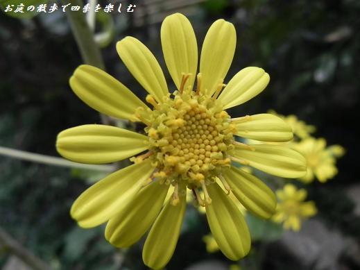 tuwabuki14.jpg