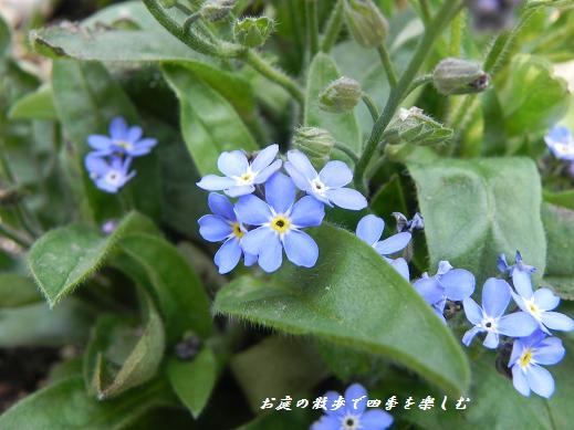 wasurenagusa5.jpg