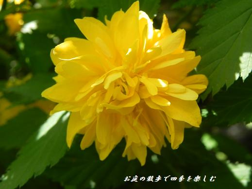 yamabuki4.jpg