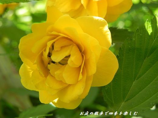 yamabuki8.jpg