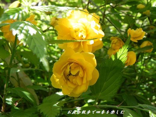 yamabuki9.jpg