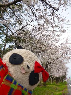 桜おばぶ2013