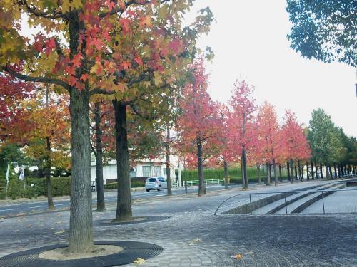 市役所前 紅葉する街路樹