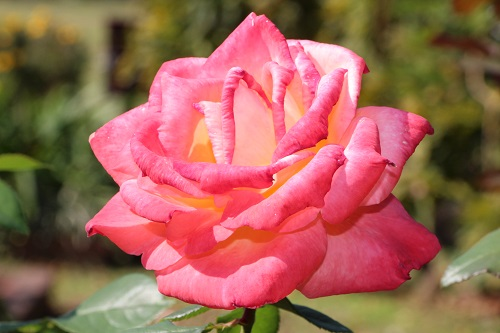IMG_8739日比谷公園バラ