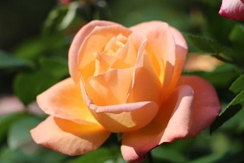 IMG_8741日比谷公園バラ