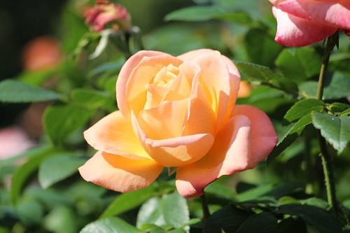 IMG_8742日比谷公園バラ