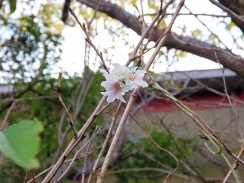 DSCF1761_NEW十月桜