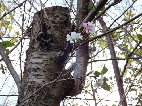 DSCF1770_NEW十月桜