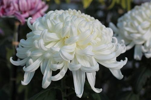 IMG_8904 白・菊
