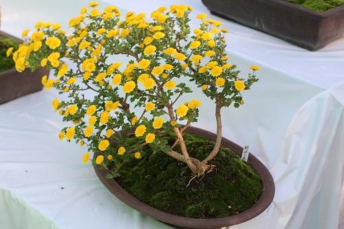 IMG_8912菊・盆栽