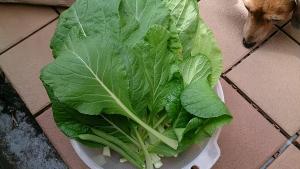 2013-1-11 ビタミン菜 収穫