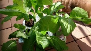 2013-11-11 ビタミン菜 収穫前