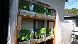 2013-11-13 ベランダ菜園の様子 (1)