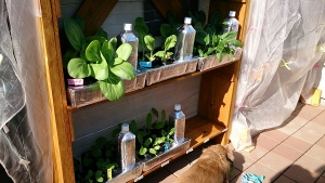 2013-11-13 ベランダ菜園の様子 (4)